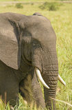 Closeup of an African Elephant Head Royalty Free Stock Photos