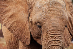 Closeup of african elephant. Closeup portrait of african elephant royalty free stock photos