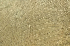 Closeup of african elephant skin. Texture of real leather  Loxodonta adaurora Royalty Free Stock Photos