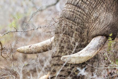 Closeup African Elephant Tusks stock images