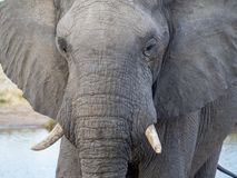 Closeup of African elephant at water hole in Botswana, Africa Stock Photography
