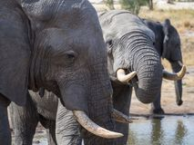 Closeup of African elephants drinking at water hole in Botswana, Africa Stock Image