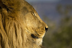 African Lioness closup Royalty Free Stock Image