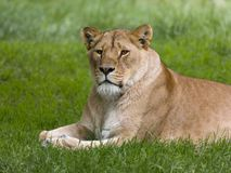 Closeup of African lioness Stock Images