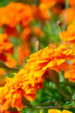 Closeup of african marigold with vintage filter Stock Images