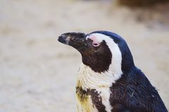 Closeup of African Penguin with semi closed eyes against blurred background stock photos