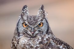 A closeup of an African spotted owl staring intently at the camera royalty free stock image
