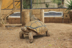Closeup of African Spurred Tortoise (Geochelone sulcata) Royalty Free Stock Photos