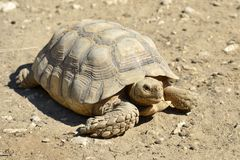 African spurred tortoise on ground Stock Images