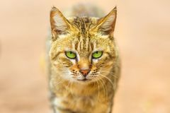 African wild cat royalty free stock images