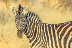 Zebra in Kalahari Desert. Closeup of African Zebra standing in Madikwe Game Reserve, South Africa, situated against the Botswana border close to the Kalahari royalty free stock images