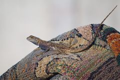 Closeup of agama lizard on carpet outdoors with matching colors stock photo