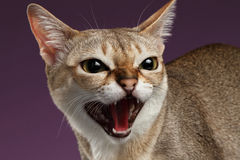 Closeup Aggressive Singapura Cat Hisses on purple. Background Royalty Free Stock Photo