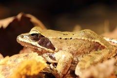 Closeup of agile frog Stock Photos