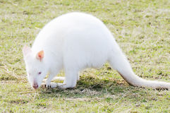 Albino Wallaby eating Stock Photo