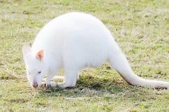 Albino Wallaby eating Stock Photo