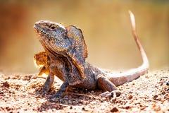 Closeup Of Alert Frilled Neck Lizard. (Chlamydosaurus kingii) on land Royalty Free Stock Photos