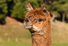 Closeup of alert suri alpaca head Stock Image