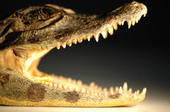 Closeup of an alligator mouth. A closeup of an alligator mouth Royalty Free Stock Images