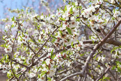 Closeup on almond branches Stock Photo