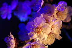 Closeup of almond flower on branch Royalty Free Stock Images