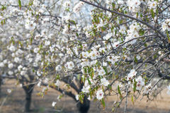 Closeup on almond tree branches Royalty Free Stock Photography