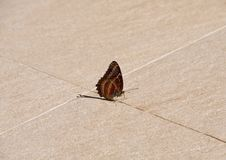 Closeup Alone Butterfly lies on Ground royalty free stock photos