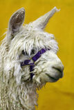 Closeup of an Alpaca Stock Photo