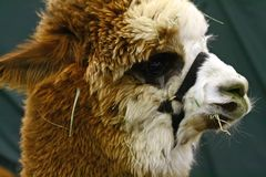 Closeup of an Alpaca Stock Photography