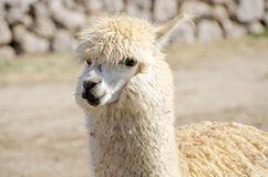 Closeup of an Alpaca Stock Images