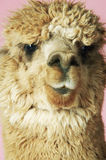 Closeup Of Alpaca On Pink Background Royalty Free Stock Photography