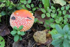 Closeup of Amanita poisonous mushroom in the forest with copy space Stock Photo