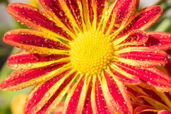 Closeup amazing beautiful colorful flower bright fresh Royalty Free Stock Images