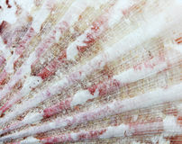 Closeup of amazing detail scallop texture Stock Photos