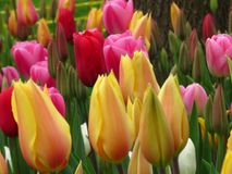 Aladdin, Prince carnaval, Ruby red, Pink impression. Closeup. Amazing yellow red diverse tulips and tulip buds blooming in a park. Aladdin, Prince carnaval royalty free stock photos