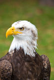 Closeup of an American Bald Eagle in Ecuador Royalty Free Stock Photos