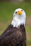 Closeup of an American Bald Eagle in Ecuador Royalty Free Stock Photo