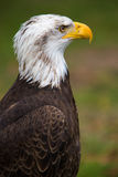 Closeup of an American Bald Eagle in Ecuador Stock Photo