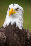 Closeup of an American Bald Eagle in Ecuador Stock Photography