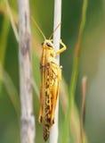 Closeup of American Bird Grasshopper Royalty Free Stock Photography
