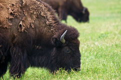 Closeup of American Bison Stock Image