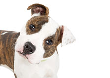 Closeup American Staffordshire Dog Tilting Head. Cute American Staffordshire Terrier dog tilting head with attentive expression Royalty Free Stock Images