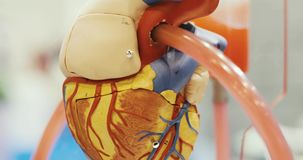 Closeup anatomical educational functioning robotic heart toy model for learning. Toy 3d model of the heart exhibit with tube through which liquid flows and stock video footage