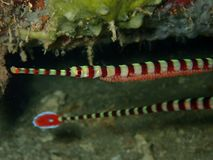 Free Closeup And Macro Shot Of Male Banded Pipefish With Eggs During Leisure Dive In Sabah, Borneo. Stock Photo - 145081630