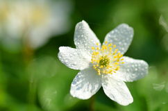 Closeup of anemone flower in the morning dew Royalty Free Stock Photos