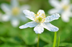 Closeup of anemone flowers in the morning dew Stock Photo