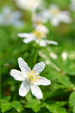 Closeup of anemone flowers in the morning dew Royalty Free Stock Photos