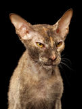 Closeup Angry Peterbald Sphynx Cat on Black Royalty Free Stock Photo