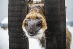 Closeup animal nose sticking out of fence royalty free stock photo