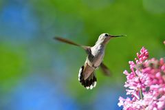 A closeup of Anna`s hummingbird hovering beside the flowers. stock photos